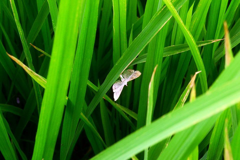 Agriculture, Pest, Insect, Bug, Rice, Field, Farm, Moth