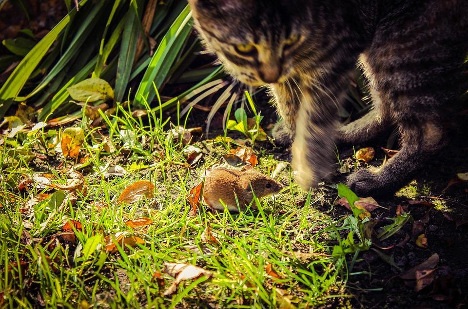 Mouse, Cat, Field Mouse, Mammal, Apodemus Agrarius