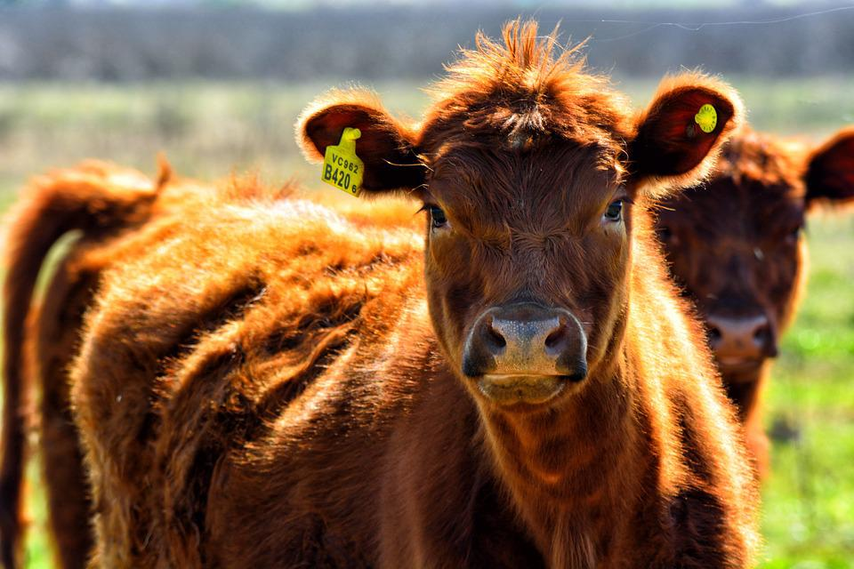 Cow, Field, Animals, Nature, Veal, Animal, Livestock