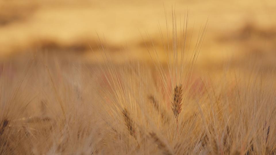 Nature, Landscape, Field, Cornfield, Outdoors