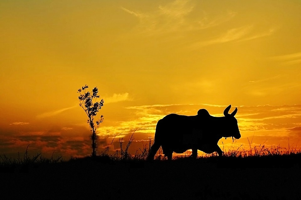 Sunset, Cow, Mountain, Nature, Cattle, Field, Sky