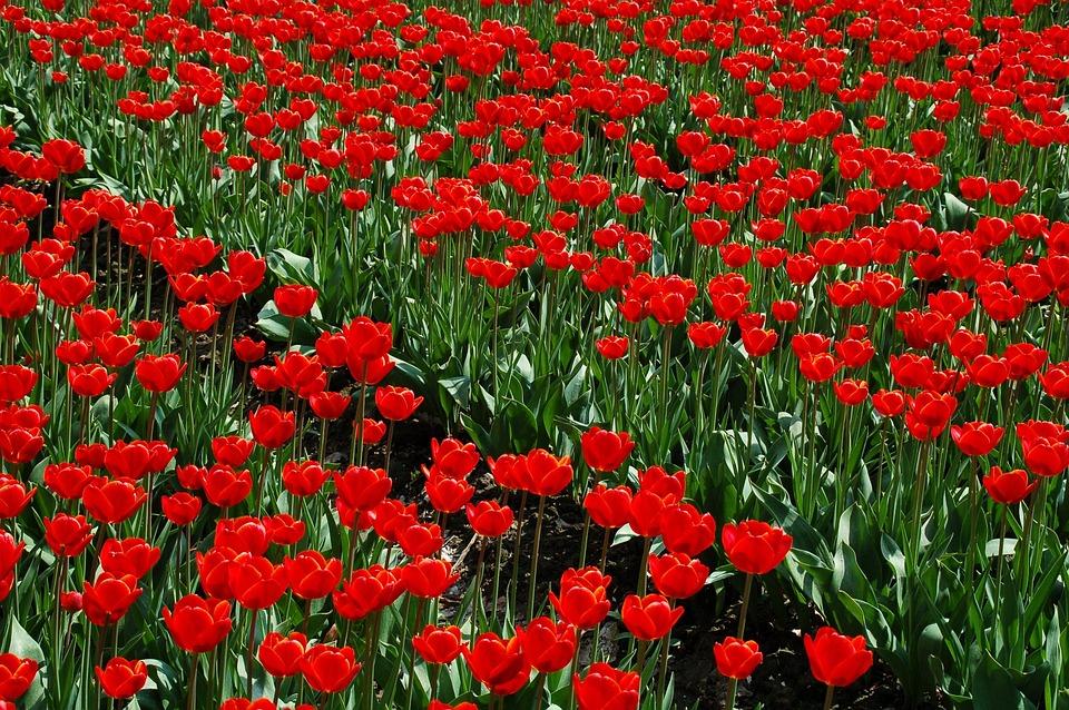 Plant, Garden, Field, Tulip, Nature, Structure