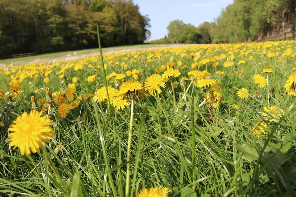 Flower, Field, Nature, Meadow