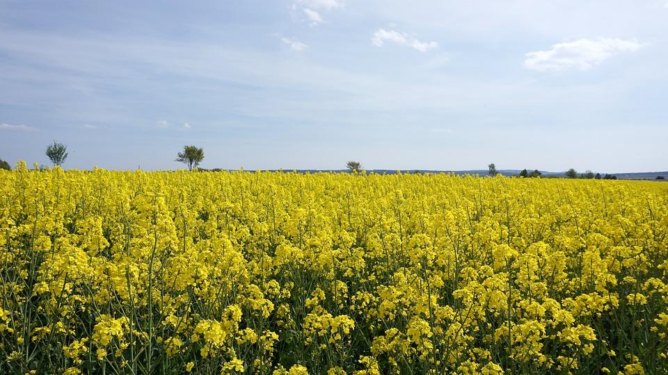 Oilseed Rape, Yellow, Sky, Nature, Field, Rape Blossom