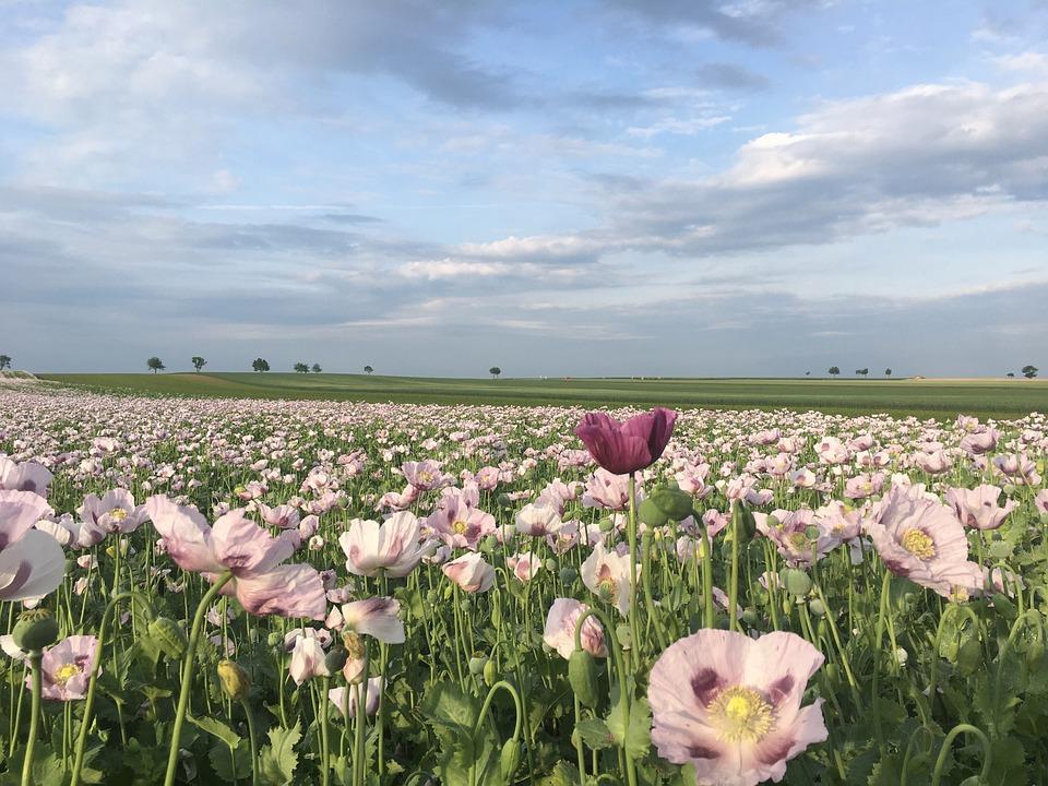 Poppy, Spring, Flower, Nature, Field, Landscape