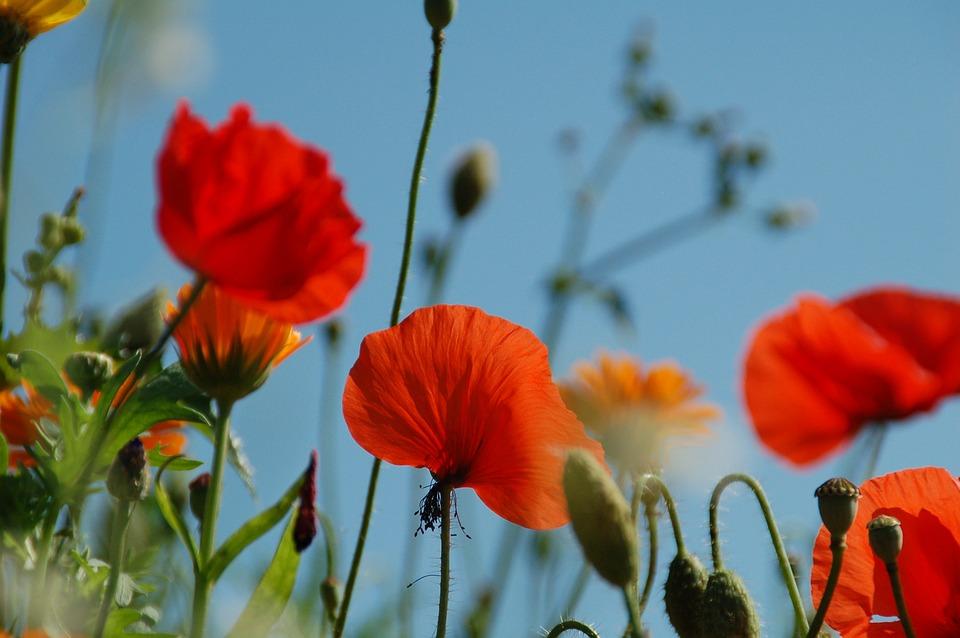 Poppy, Nature, Plant, Summer, Field