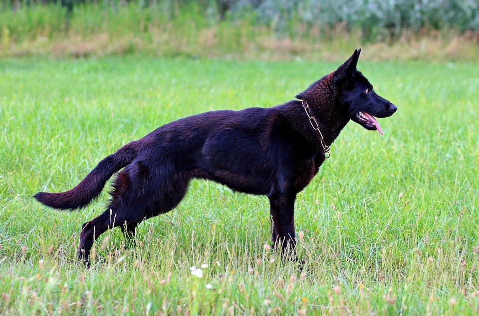 Black German Shepherd, Dog, Consists Of, Nice, Field