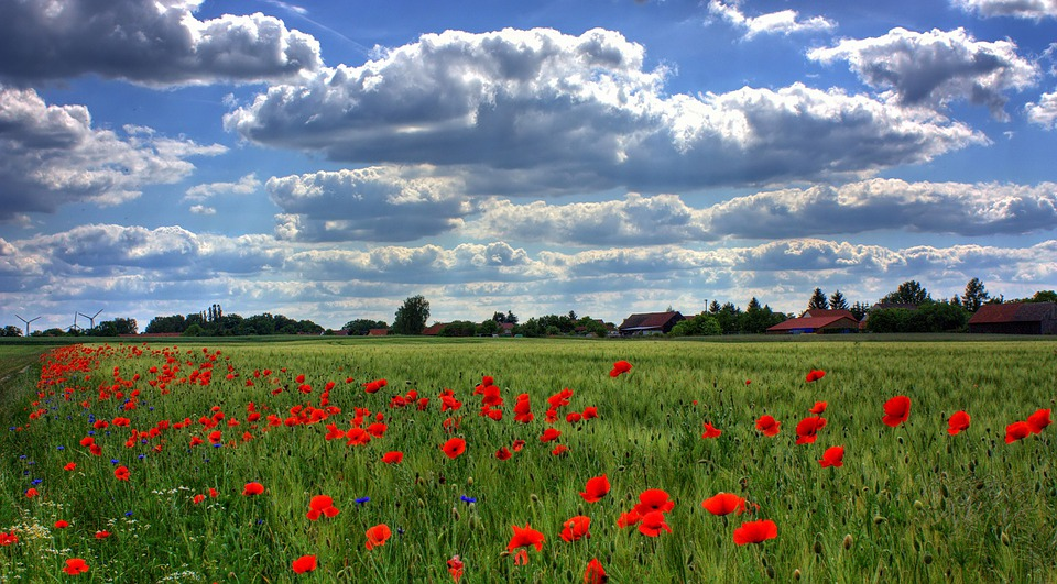 Field Of Poppies, Brandenburg, Nature