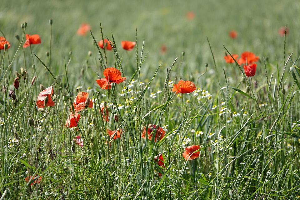 Poppy Flower, Chamomile, Poppies, Field Of Poppies