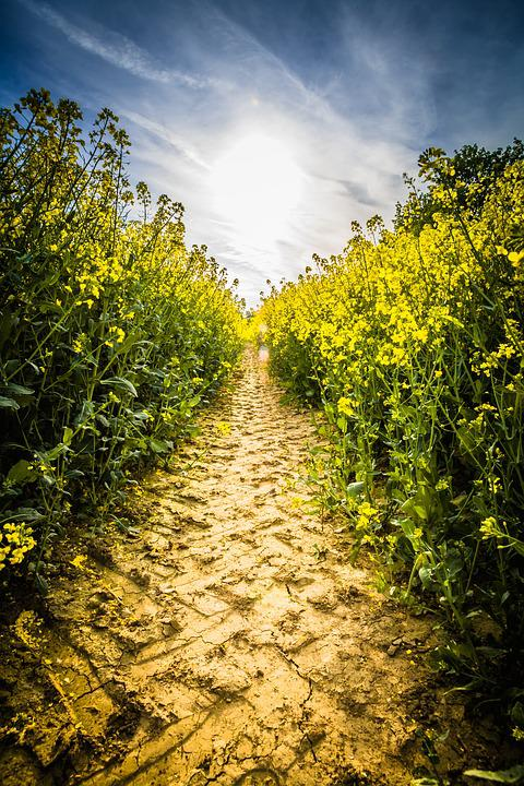 Oilseed Rape, Field Of Rapeseeds, Field, Blossom, Bloom