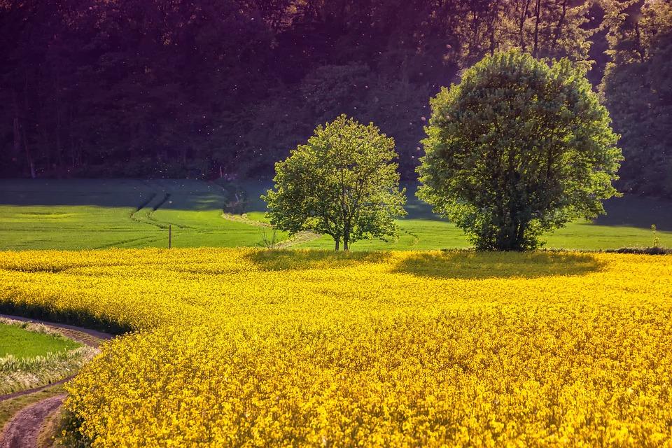 Landscape, Field Of Rapeseeds, Oilseed Rape, Nature