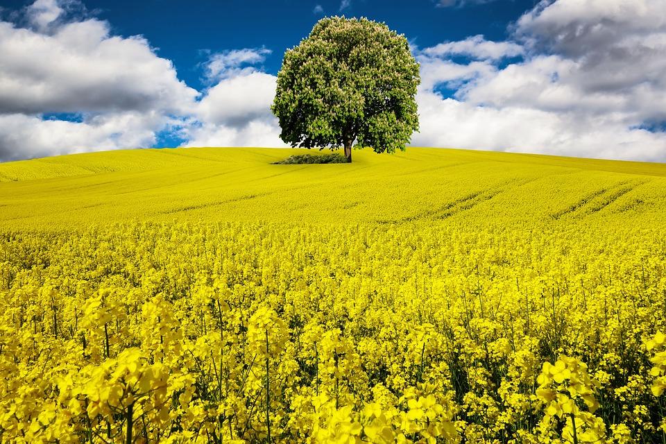 Spring, Oilseed Rape, Rape Blossom, Field Of Rapeseeds