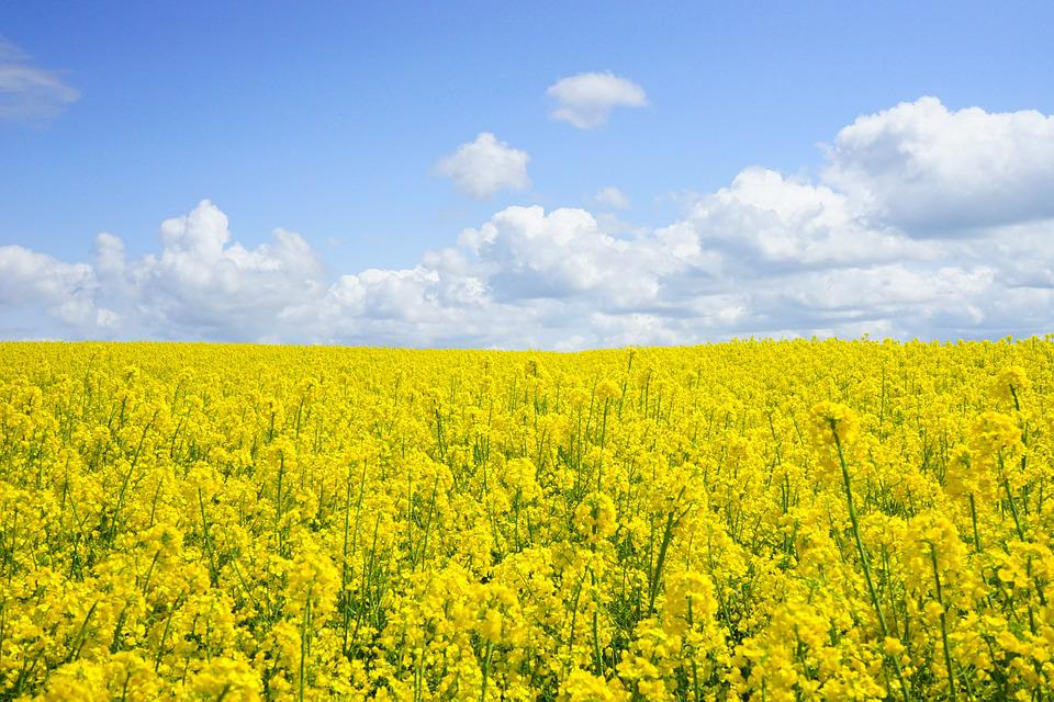 Field Of Rapeseeds, Oilseed Rape, Blütenmeer, Yellow
