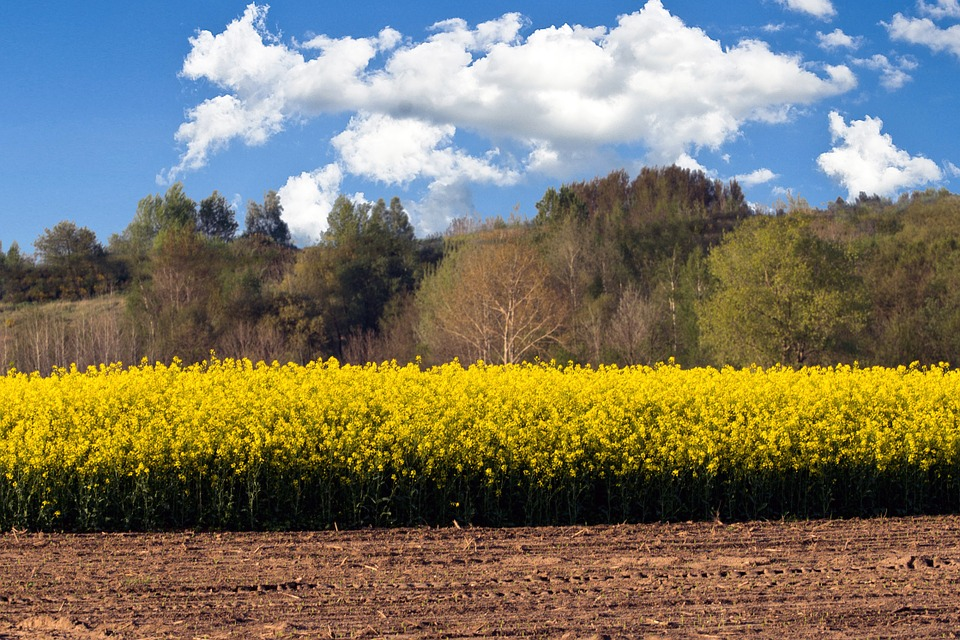 Oilseed Rape, Field, Clouds, Field Of Rapeseeds