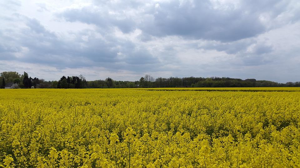 Oilseed Rape, Field Of Rapeseeds, Field, Yellow, Clouds