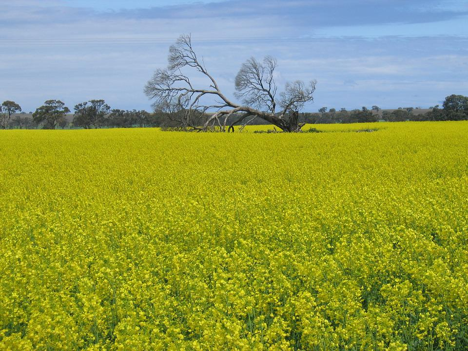 Field, Nature, Canola, Natural, Outdoor, Rural