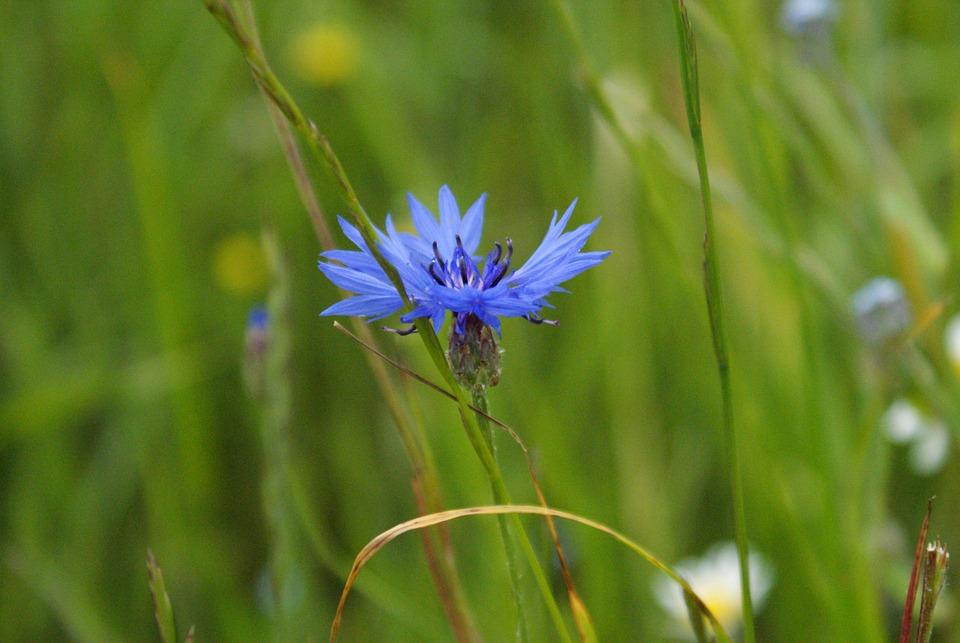 Flower, Cornflower, Plant, Blue, Field, Meadow, Flowers