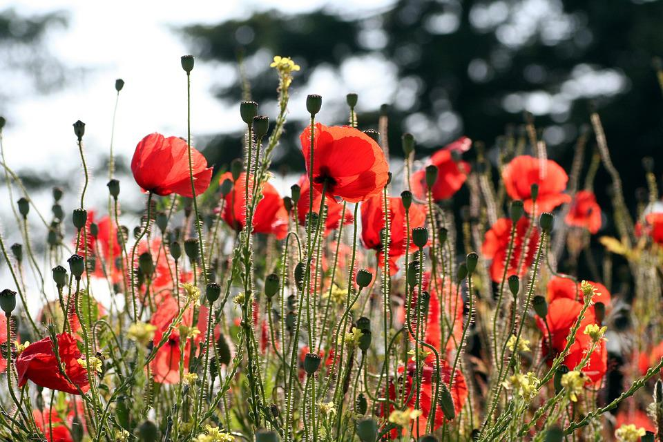 Poppies, Nature, Red, Field, Petals, Herbs