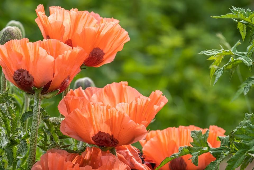Poppy, Flowers, Plant, Corn Poppy, Field Poppy