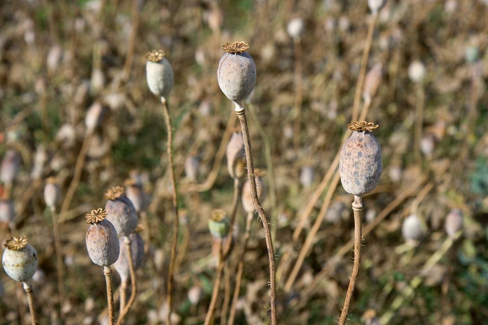 Poppy, Field, Summer, Garden, Meadow, Wild, Floral