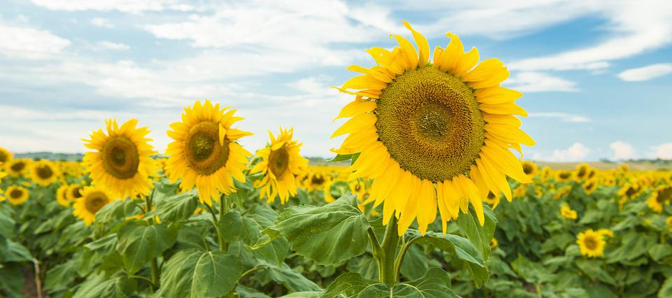 Field, Nature, Nobody, Plant, Sunflower, Qld