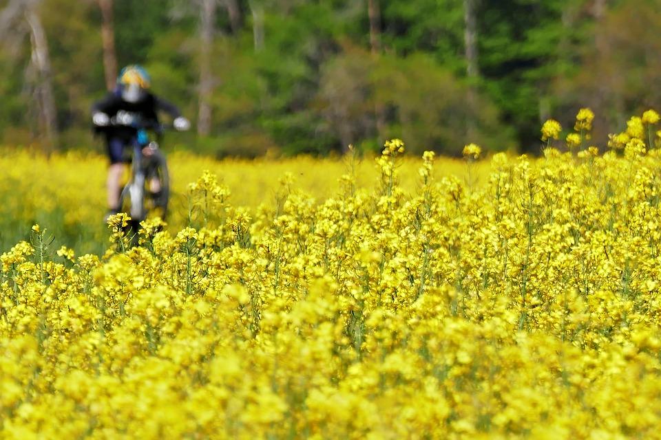 Rapeseeds, Yellow, Field, Rapeseed Field