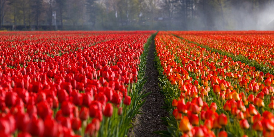 Tulips, Tulip, Field, Fields, Orange, Red, Background