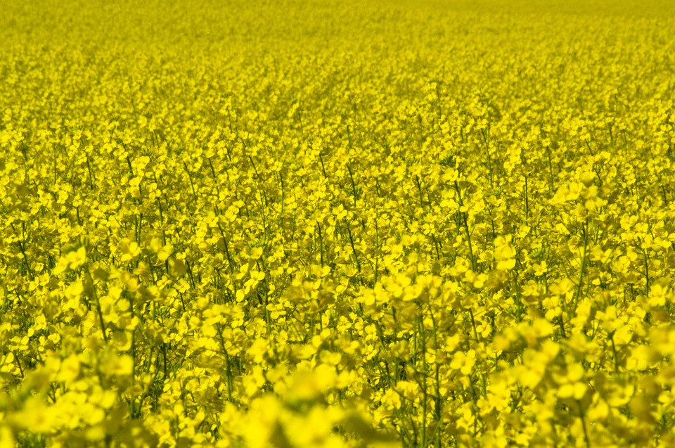 Canola, Field, Yellow, Agriculture, Rural, Landscape