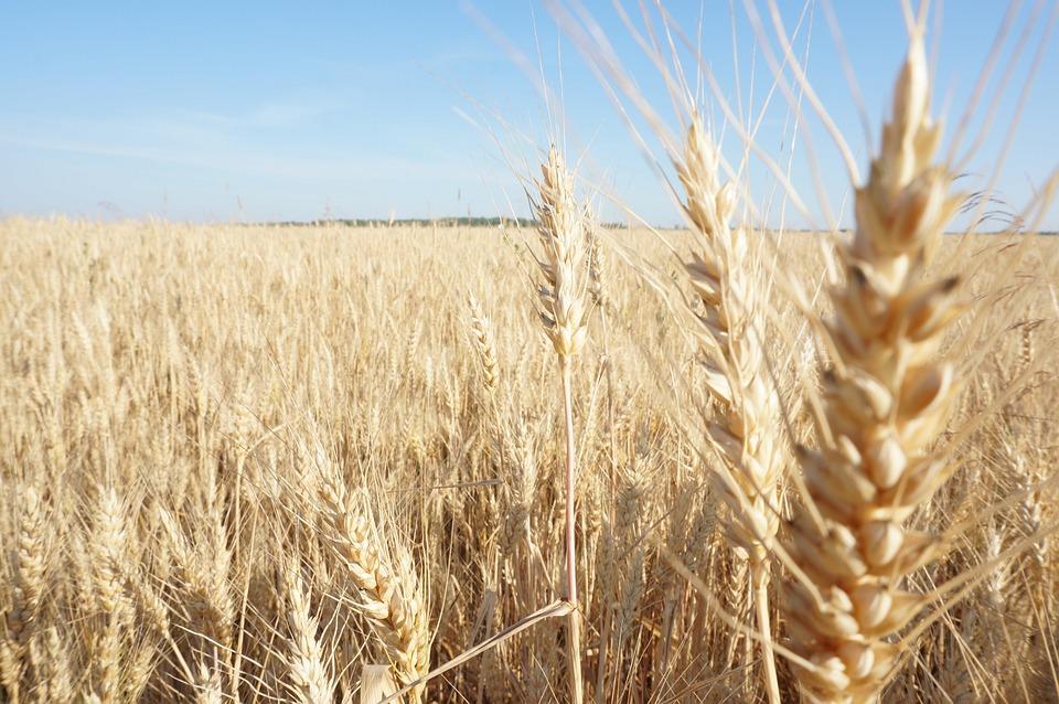 Wheat, Field, Russia, Harvest