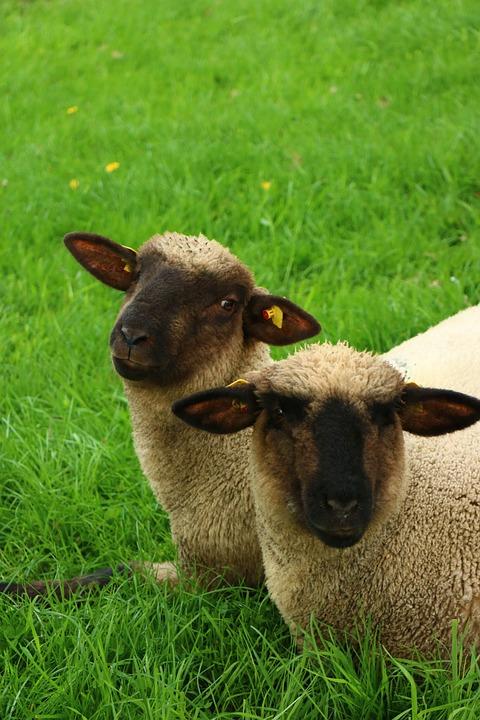 Free photo Field Sheep Farm Cute Meadow Mammal Animal Grass