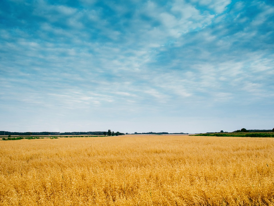 Field, Sky, Wheat, Barley, Grain, Summer, Nature