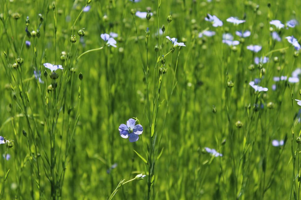 Flowers, Flax, Field, Plant, Bloom, Spring, Pasture