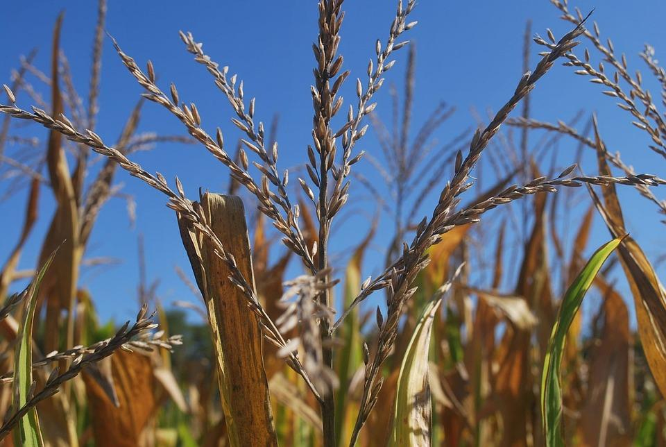 Corn, Tassel, Tassels, Stalk, Field, Nature, Sky