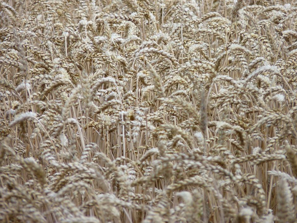 Cornfield, Spike, Harvest, Summer, Cereals, Dry, Field