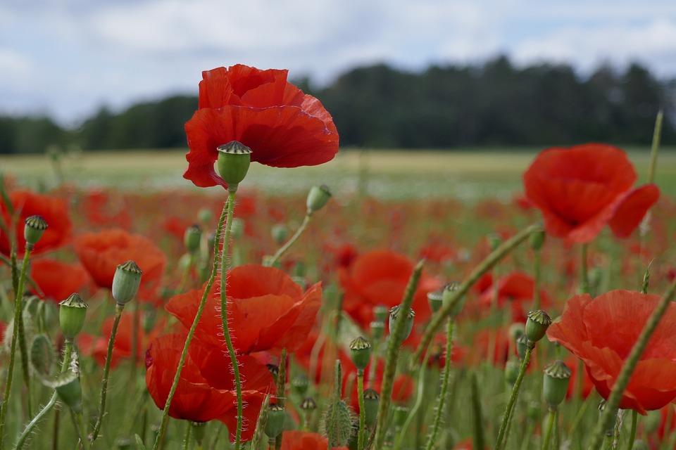 Poppy, Field, Summer, Landscape, Meadow, Flowers, Sky