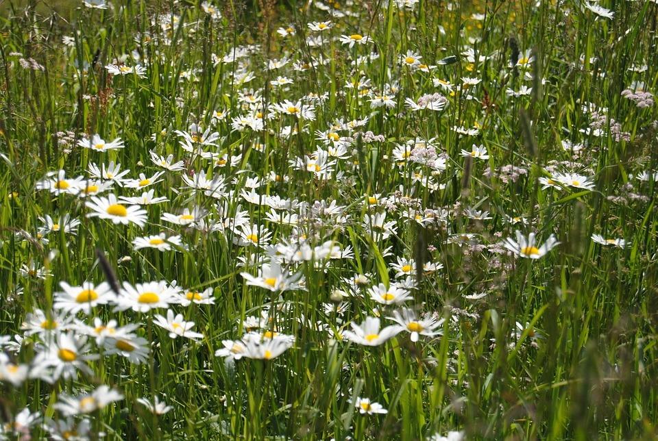 Flowers, Wildflowers, Summer, Field, Daisies, Margaret