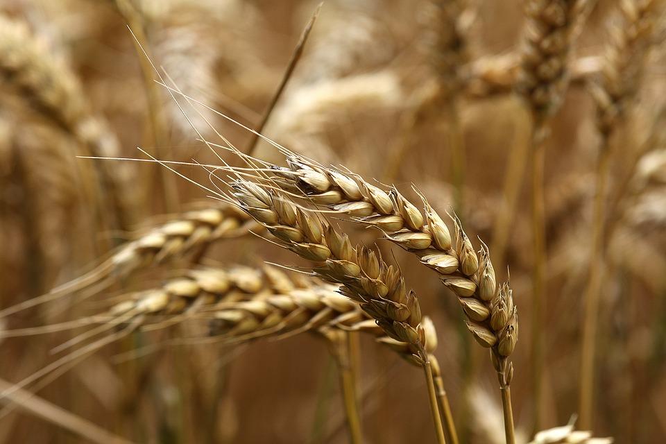 Wheat, Ear, Ripe, Field, Harvest, Summer, Sunny