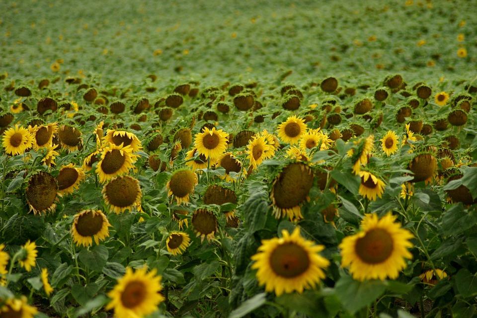 Sunflower, Field, Flowers