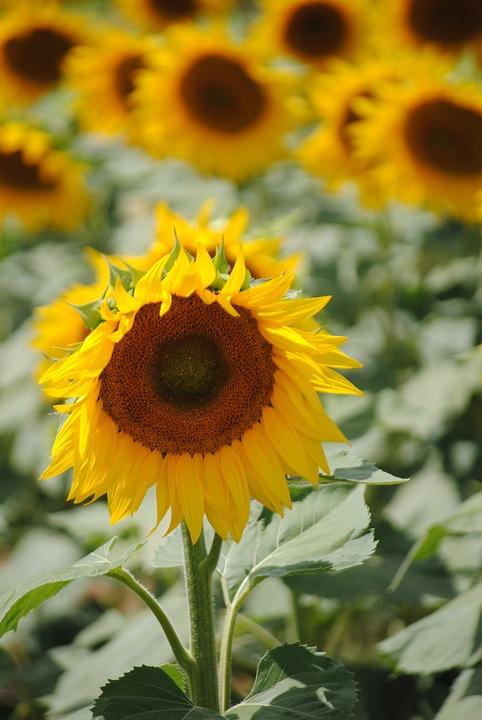 Sunflower, Field, Yellow Flowers, Summer, Yellow