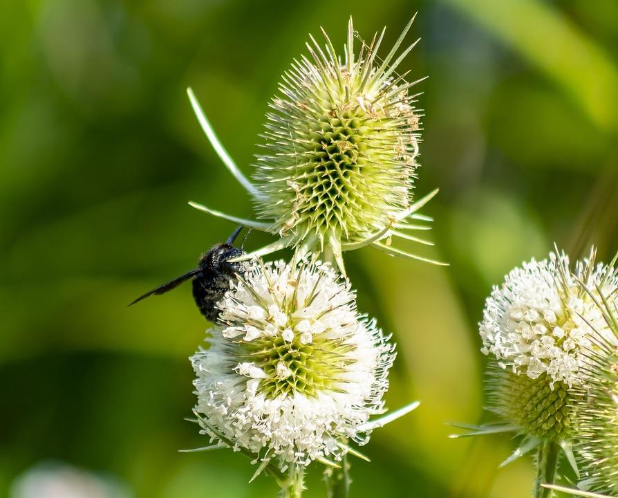 Wildflower, Stalk, Szamárkóró, Stem, Field, Flower