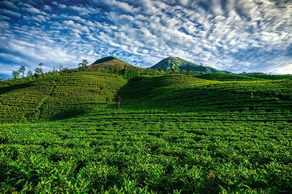 Tea, Nature, Garden, Green, Field, Background, Organic