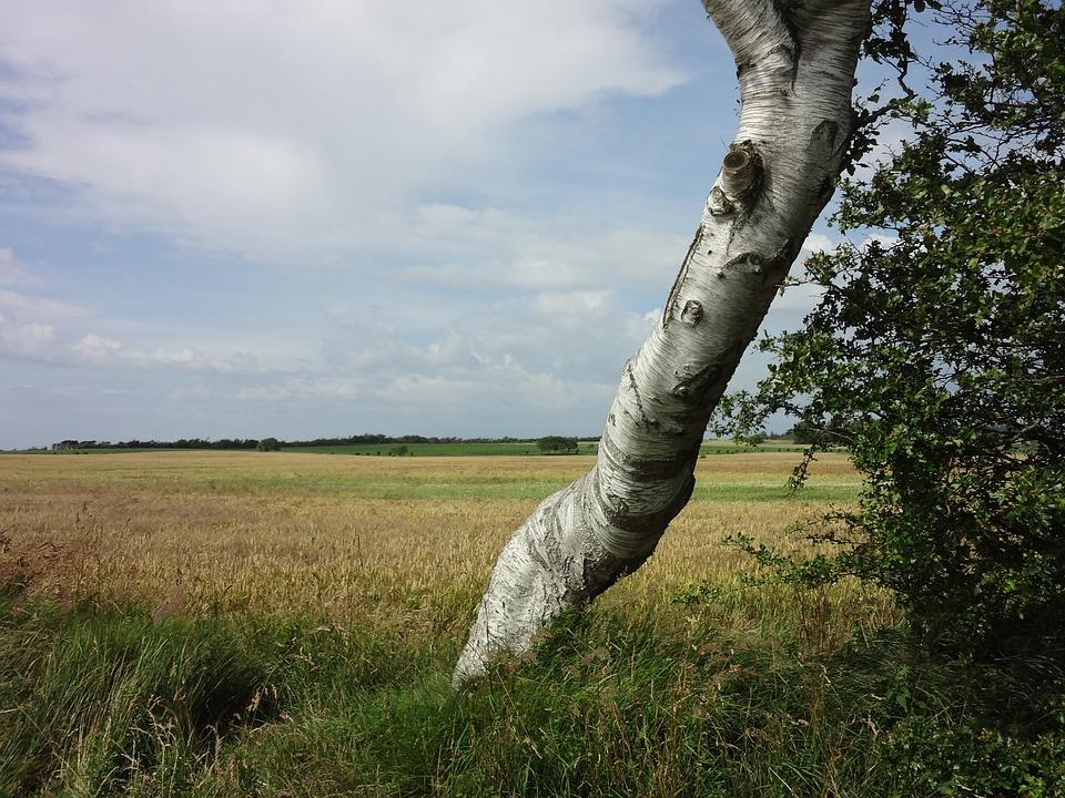 Landscape, Tree, Field, Nature, Cereals, Birch, View