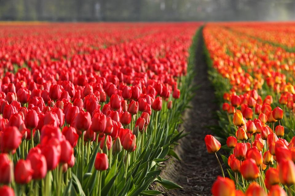 Tulips, Field, Orange, Red, Background, Wallpaper