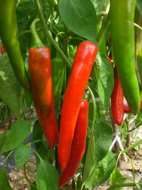 Pepper, Vegetable, Plants, Field, Vegetables