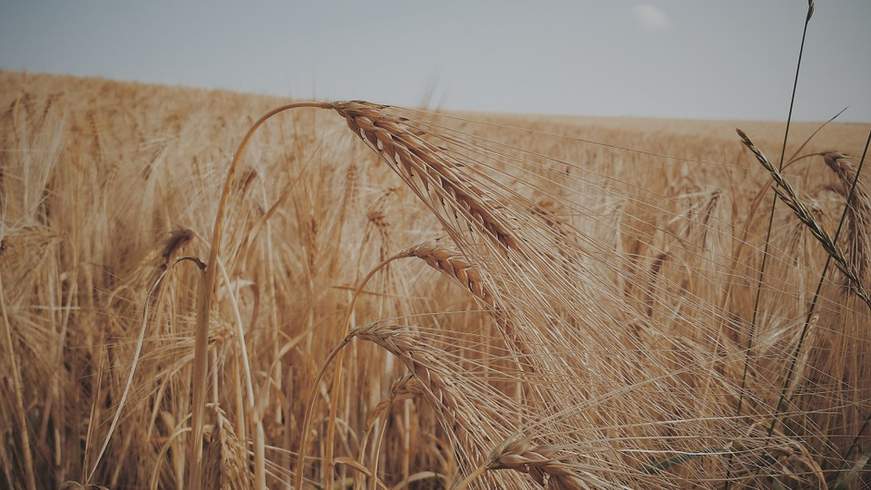 Wheat, Field, Cereals, Summer, Agriculture, Harvest