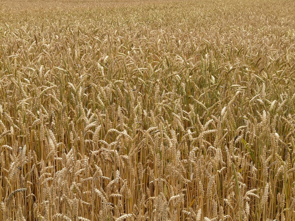 Spike, Wheat, Cereals, Grain, Field, Wheat Field