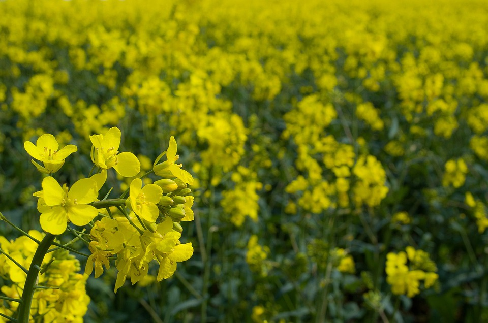 Canola, Field, Agriculture, Season, Flower, Yellow
