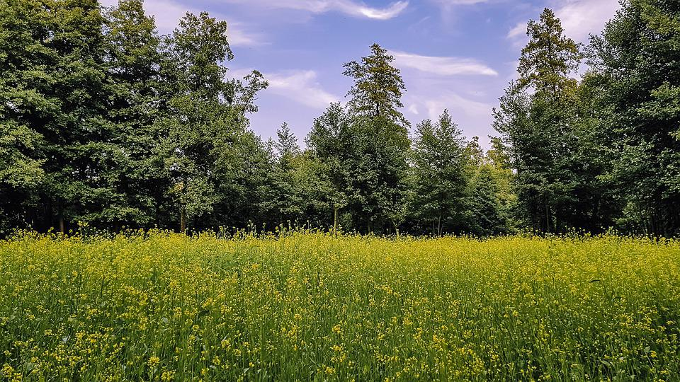 Field, Yellow, Green, Trees, Nature, Summer