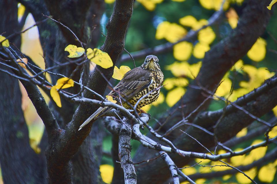 Nature, Birds, Peak, Plumage, Bird, Pen, Fieldfare