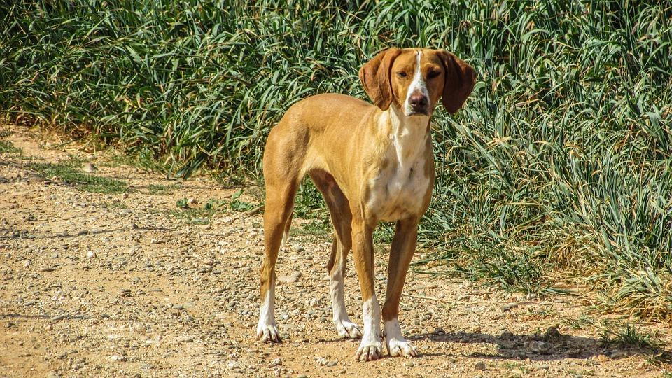 Dog, Vizla, Brown, Stray, Looking, Fields, Outdoor